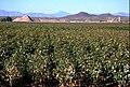 Cotton Field (34975789902).jpg