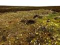 Cotton Grass on the North York Moors - geograph.org.uk - 1365942.jpg