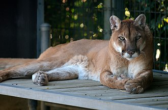 Environment of Argentina - Image: Cougar at Cougar Mountain Zoological Park 2