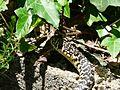 Couleuvre verte et jaune Périgueux (3).JPG