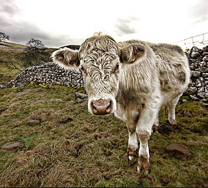 "English: Cow in Malham, Yorkshire. ""The s..."