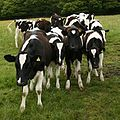 Cows, near Old Spring Wood - geograph.org.uk - 440211 (cropped).jpg