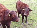 Cows - geograph.org.uk - 340800.jpg