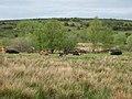 Cows at Doogary - geograph.org.uk - 1654498.jpg