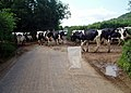Cows crossing Launcherley Road - geograph.org.uk - 32768.jpg