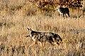 Coyote (5500017655).jpg