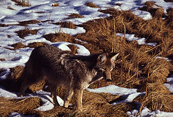 A coyote in the grass with snow
