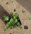Crassula orbicularis 02.jpg