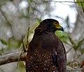 Crested Serpent Eagles.jpg