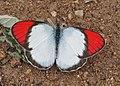 Crimson Tip, Colotis danae (male) (23516506970).jpg