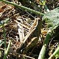 Criquet grasshopper (2737255631).jpg