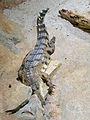 Crocodylus cataphractus faux-gavial d'Afrique.JPG