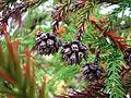 Cryptomeria japonica (Japanese Cedar).jpg