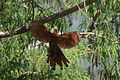 Cuclillo Canela, Squirrel Cuckoo, Piaya cayana (13362350485).jpg