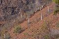 Cucumber Trees, Socotra Island (14495243949).jpg