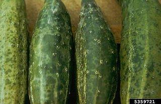 <i>Cucumber mosaic virus</i> Species of virus
