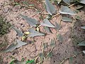 Cucurbita foetidissima (Buffalo Gourd) 8G92G39UG2.jpg