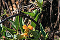 Cucurbita foetidissima Buffalo Gourd Rio Grande Nature Center 2008.jpg