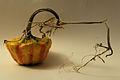 Cucurbita ornamental Autumn Squash VIII.jpg