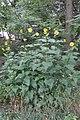 Cup Plant (Silphium perfoliatum) - Kitchener, Ontario 01.jpg
