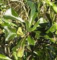 Cupaniopsis wadsworthii foliage and fruit.jpg