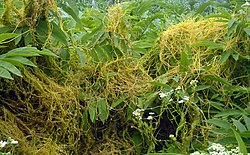 meaning of cuscuta