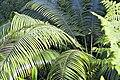 Cycads at national botanical gardens.jpg