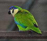 A green parrot with blue-edged wings and white cheeks and throat