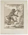 Cynocephalus leucophaeus - 1700-1880 - Print - Iconographia Zoologica - Special Collections University of Amsterdam - UBA01 IZ20100097.tif