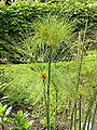 Cyperus papyrus6.jpg