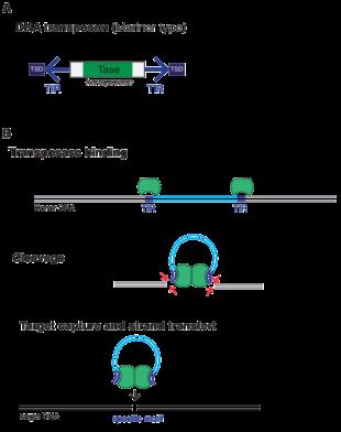 Image result for targeted transposons