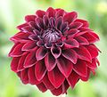 "Dahlia, ""Arabian Night"" cultivar.jpg"