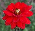 """Dahlia - """"Contessa"""" cultivar.jpg"""