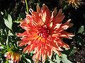 Dahlia Orange Nugget.jpg