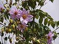 Dahlia imperialis (6367455131).jpg