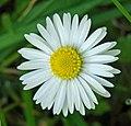 Daisy (49234948061).jpg
