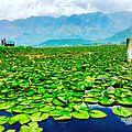 Dal Lake LillyGarden.jpg