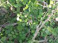 Dalbergia melanoxylon.jpg