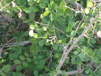Dalbergia melanoxylon - Image: Dalbergia melanoxylon