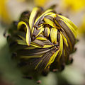 Dandelion about to unfold (14720153526).jpg