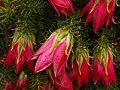 Darwinia oxylepis (01).JPG