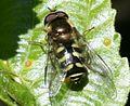 Dasysyrphus sp. (male) - Flickr - S. Rae.jpg