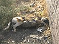 Dead Dog - Near Hakim Hospital of Nishapur 2.JPG