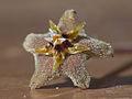 Dead Hoya carnosa flower.jpg