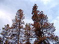 Dead pines.jpg