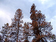 Mountain pine beetles killed these Lodgepole Pines in Prince George, British Columbia.