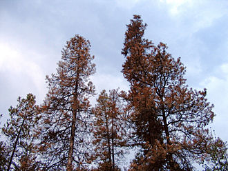 Bark beetle - Mountain pine beetles killed these lodgepole pine trees in Prince George, British Columbia.