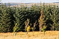 Deciduous trees in conifer forest - geograph.org.uk - 994318.jpg