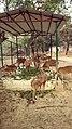 Deer at Kanpur Zoo (2015).jpg
