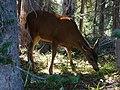 Deer feeding in forest along Dead Horse Creek trail. Mid September 2015. (a79eb8a0ddb549a1bcf543431afaf112).JPG